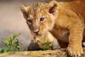 Картинка хищник, детёныш, львёнок