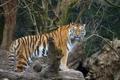 Картинка амурский, тигр, взгляд, кошка