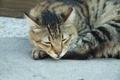 Картинка кошка, нос, полосатый