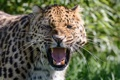 Картинка дикая кошка, оскал, клыки, злость, амурский леопард, угроза, морда
