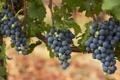 Картинка виноград, гроздья, лоза