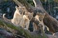 Картинка львёнок, трио, детёныш, кошки, дерево, мох, ©Tambako The Jaguar