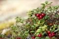 Картинка природа, ягоды, куст, красные, листочки