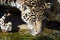 Картинка морда, хищник, ягуар, водопой, детеныш, дикая кошка