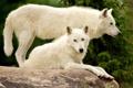 Картинка природа, камень, волки, белые