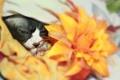 Картинка цветок, лапки, Кошка, канадский сфинкс