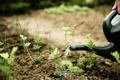 Картинка листья, растение, лейка, петрушка, photographer, полив, пряность
