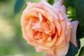 Картинка роза, лепестки, макро