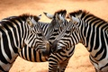 Картинка взгляд, зебра, грива, копыта