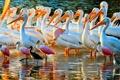 Картинка вода, птицы, берег, цвет, перья, клюв, пеликаны