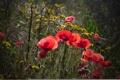 Картинка поле, трава, свет, цветы, маки, вечер, луг