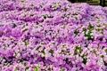 Картинка фото, Цветы, Много, Петунья