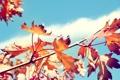 Картинка листья, осень, клен, сухие, ветка, дерево, солнечно