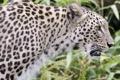 Картинка кошка, хищник, леопард, персидский