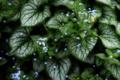 Картинка зелень, листья, растение, цветочки, Каладиум