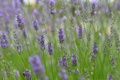 Картинка поле, трава, цветы, растение, луг, насекомое, лаванда