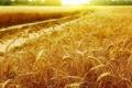 Картинка поле, солнце, рожь