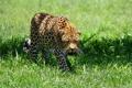 Картинка leopard, луг, хищник, пятнистая кошка, леопард