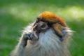 Картинка взгляд, шерсть, обезьяна, примат