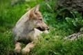 Картинка лес, трава, лежит, профиль, волчонок