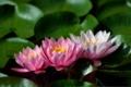 Картинка листья, water lilies, leaves, кувшинки