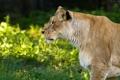 Картинка кошка, взгляд, профиль, львица