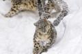 Картинка дикая кошка, детёныш, зоопарк, ирбис, бег, снежный леопард, прыжок