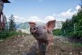 Картинка свинья, фон, взгляд