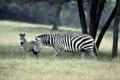 Картинка zebra, зебры, семейство
