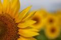 Картинка поле, цветок, подсолнух, лепестки