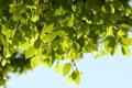 Картинка листья, природа, фон, дерево, обои