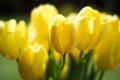 Картинка свет, цветы, желтые, лепестки, тюльпаны