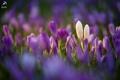 Картинка цветы, поляна, крокусы, белые, первоцветы, сиреневые