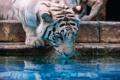 Картинка дикая кошка, морда, белый тигр, зоопарк, хищник, водопой