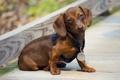 Картинка щенок, такса, ожидание