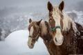 Картинка пара, лошади, кони, морда, зима, челка, снег