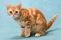 Картинка кот, британец, красный мрамор