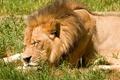 Картинка сон, морда, трава, солнце, отдых, лев, кошка