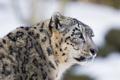 Картинка морда, ©Tambako The Jaguar, снежный барс, ирбис, взгляд, кошка
