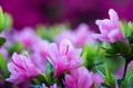Картинка листья, цветы, лепестки, размытость, тычинки, розовые