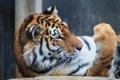Картинка кошка, тигр, лапа, профиль, амурский