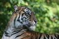 Картинка большая кошка, тигр, кошка