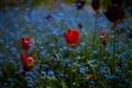 Картинка поле, цветы, тюльпан, весна, луг