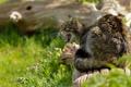 Картинка бревно, дикая кошка, злюка, лесная кошка