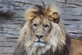 Картинка взгляд, морда, хищник, лев, грива