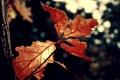 Картинка red, nature, leaves, leaf