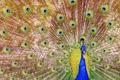 Картинка птица, узор, перья, хвост, павлин
