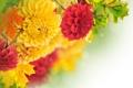 Картинка Dahlia, бутоны, желтый, лепестки, георгин, листья, leaves