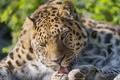 Картинка язык, кошка, умывание, амурский леопард, ©Tambako The Jaguar