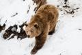 Картинка зима, снег, медведь, бурый